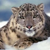 Snow Leopard from Delhi